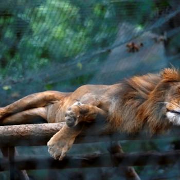 Anteprima leone.jpg